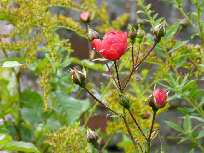 Dreamy rose gardenb in autumn in Ostfriesland ... :-) Flower Collection Anne Janßen Ostfriesland Kultur Rose Close Up Rose Collection Rose Collection Anne Janßen Rosen Und Knospen Autumn Rose Beauty In Nature Blooming Close-up Day Flower Fragility Freshness Growth Nature No People Outdoors Plant Red Rose - Flower Rosen Rosengarten Roses Rose🌹