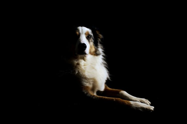 Playing with lighting and a black backdrop Border Collie Tricolour Leothebordercolliedog Black & White Shadows & Lights No People Close-up