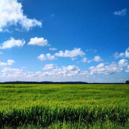 🌾🌾🌾 Arroz Agricultura Riograndedosul Nature Sky_captures Blue Green CeuAzul Ceudobrasil Ig_riograndedosul_ Doleitorzh Amazing