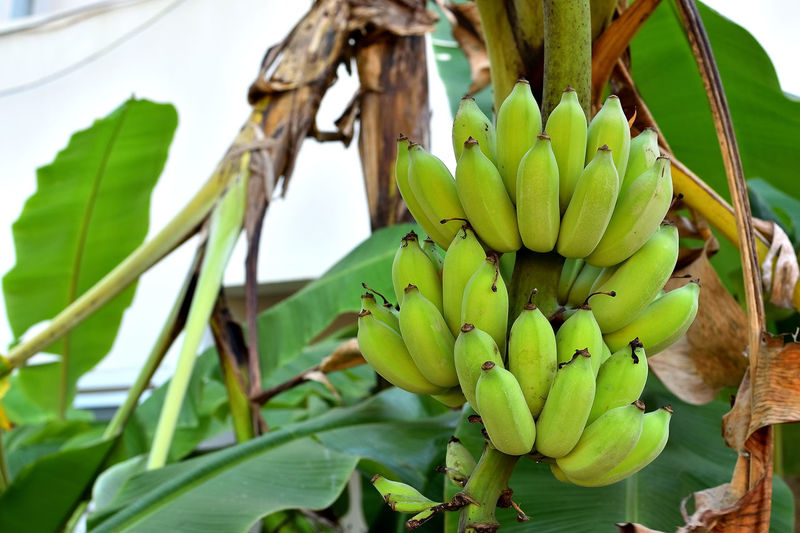 Agriculture Banana Leaf Banana Tree Bananas Branch Bunch Of Bananas Cultivated Banana Green Green Bananas Green Color Growing Growth Plant