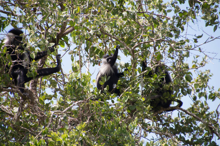 Three colobus monkeys hidden in trees in Saadani National Park in Bagamoyo Animal Themes Animal Wildlife Animals In The Wild Bird Branch Colobus Colobus Monkey Day Growth Leaf Low Angle View Mammal Nature No People One Animal Outdoors Perching Tree Trees And Nature Trees And Sky Treescape