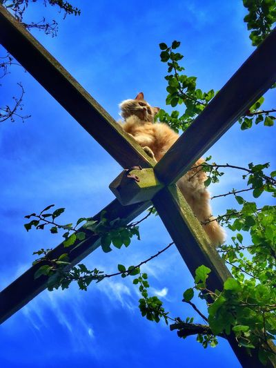 Buster with blue sky... One Animal Low Angle View Sky Climbing Cat Cats Of EyeEm Buster Pet Portraits