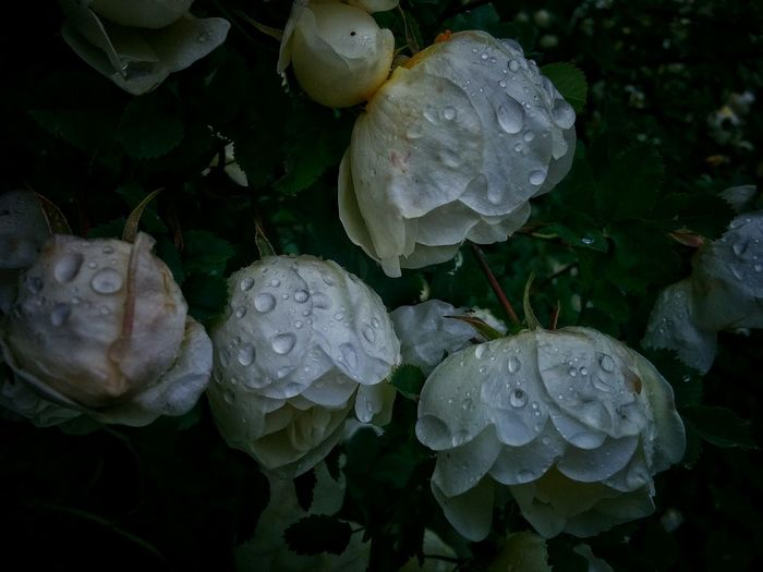 Nature Beauty In Nature No People Close-up Biology Outdoors Fragility Flower Summer Rain White Flowers