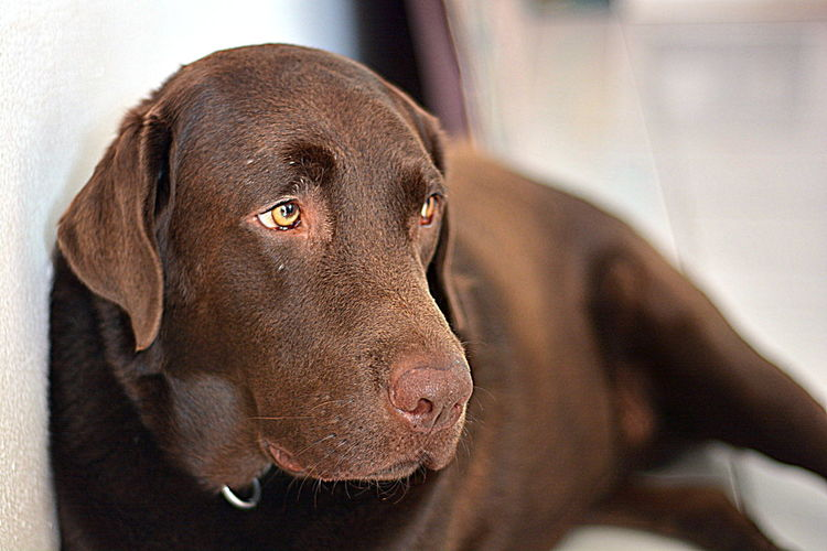 Labrador Dog Chocolate Lab