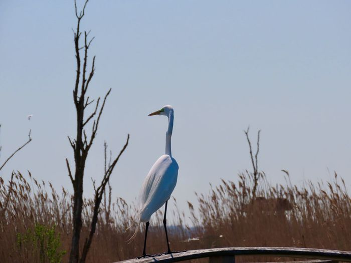 Great egret perched atop a wooden railing looking away landscape grey skies birds of EyeEm beauty in nature Bird Nature Animal Wildlife Animal Themes One Animal Bare Tree No People