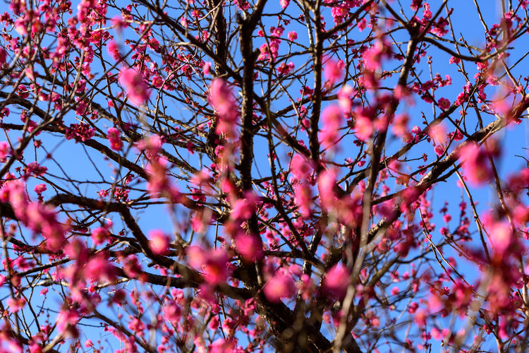 Plant Tree Flower Branch Flowering Plant Beauty In Nature Growth Low Angle View Pink Color Springtime Blossom No People Nature Day Freshness Selective Focus Fragility Vulnerability  Sky Tranquility Outdoors Spring Cherry Blossom Plum Blossom Cherry Tree