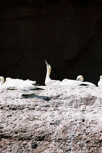 Birds Gannet