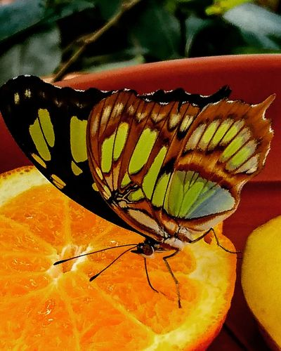 Butterfly Lepidoptera Fruit Orange Macro Macro_collection Nature Wings Insect Taking Photos Beauty In Nature Me, My Camera And I Mobile Photography Insect Photography Vibrant Colorful Pattern Capture The Moment Patterns In Nature Simple Photography Nature_collection Simplicity Nature Photography Mobilephotography Naturesbeauty