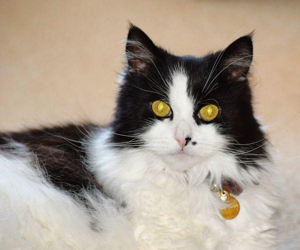 my cat Pets Portrait Kitten Feline Domestic Cat Cute Animal Hair Studio Shot Looking At Camera Yellow Eyes