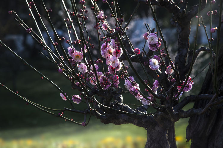 Plum Blossom Bonsai Plant Beauty In Nature Growth Nature No People Flowering Plant Flower Tree Focus On Foreground Purple Freshness Outdoors Day Plum Blossom Bonsai Plum Blossom Views Plum Blossom