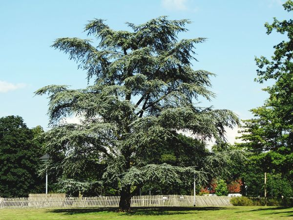 Cedar Tree In The Park Warande Helmond Sunny Day Grass Park Trees Fence Animal Compound