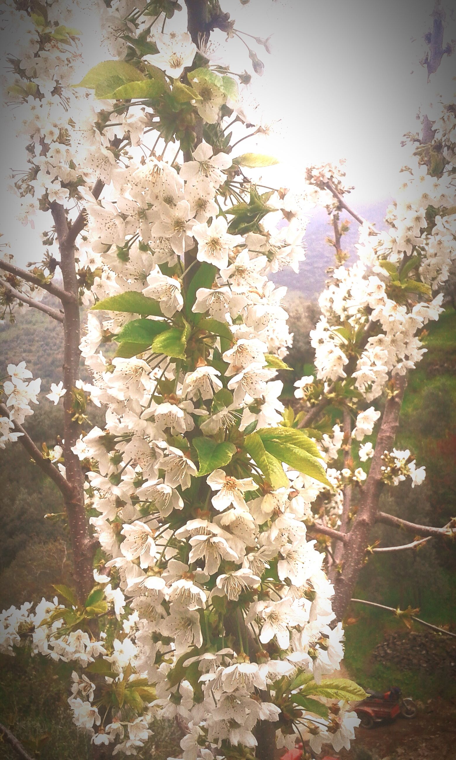 flower, freshness, fragility, growth, beauty in nature, white color, nature, petal, blooming, blossom, tree, in bloom, plant, branch, flower head, springtime, cherry blossom, day, outdoors, botany