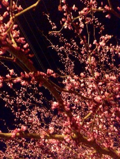 Spring in Boone NC 2016 Sakura Spring Flowers Cherry Blossom Boone NC