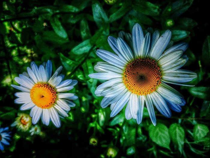 Howard Green Bay  Wisconsin Summertime Daisy Flowers Enjoying Life Summer Flowers