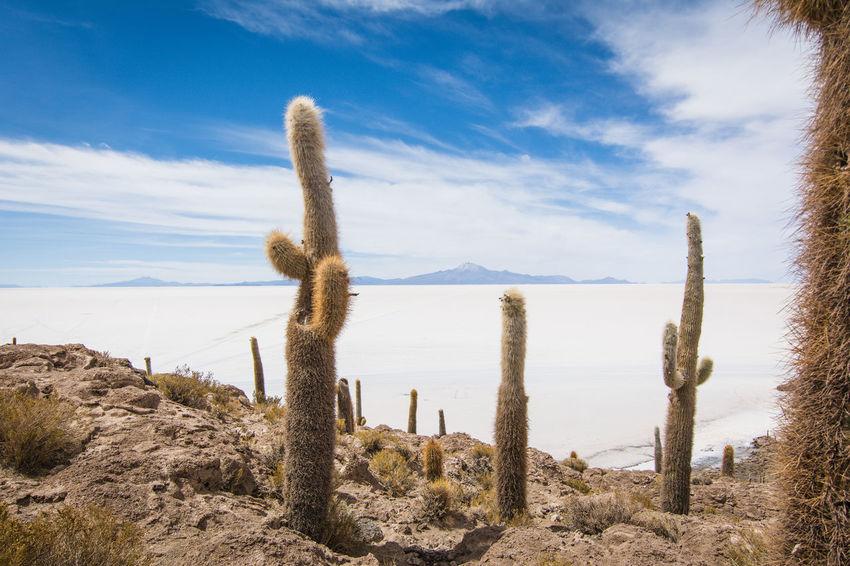 Isla Incahuasi - The Bolivian Salt Flats Arid Climate Beauty In Nature Blue Cacti Cactus Cactus Flower Cactus Garden Cactus Paradise Growth Isla Incahuasi Landscape Mountain Nature Non-urban Scene Outdoors Plant Remote Scenics Sky Tokina 11-16 Mm F/2,8 Tranquil Scene Tranquility Uyuni Uyuni - Island Of Salt Uyuni Salt Flat