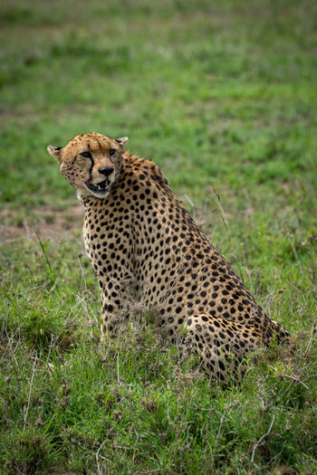 Cheetah Sitting On Grass In Forest