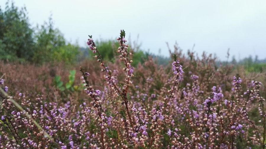 Beauty In Nature Flower Growth Heather Nature No People Outdoors Plant Purple