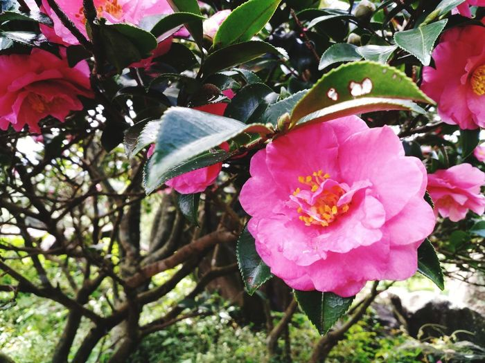 Yuan Dao Guan Yin Miao Yuan Dao Guan Yin Miao Flower Head Flower Tree Pink Color Petal Wild Rose Close-up Blooming Plant