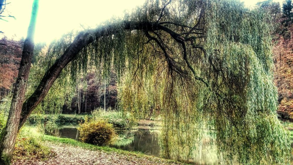 Trauerweide im Herbst Outdoors Nature No People Freshness Beauty In Nature Water Tree Herbst, Laub, Herbstlaub, Herbstfarben, Herbstleuchten, Herbstspaziergang, Idyllic Scenery Herbst-Impressionen 🍁 Herbstlaub Herbst In Seinen Schönsten Farben Autumn🍁🍁🍁 GERMANY🇩🇪DEUTSCHERLAND@ Golden Moments  Plant Golden Light Autumn Collection Trees Weeping Willow Tree Willowtree weeping willow Sea water See germany Bavarian Nature Scenics