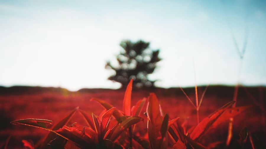 Close-up of red flowers growing in field against sky