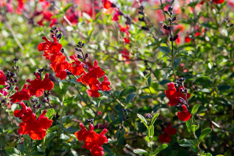 Flower Garden Red Antirrhinum Background Beautiful Beauty Bloom Blossom Color Floral Green Nature Petal Plant Snapdragon Summer Blooming Colorful Flora Fresh Leaf Natural Outdoor Spring Botany Closeup Season  Botanical Decorative Low Horticulture Common Snapdragon Antirrhinum Majus Seasonal Bed Majus Grow Annual Plant Annual Bright Botanic Organic Scrophulariaceae Growth Foliage Isolated Herb Gardening HEAD