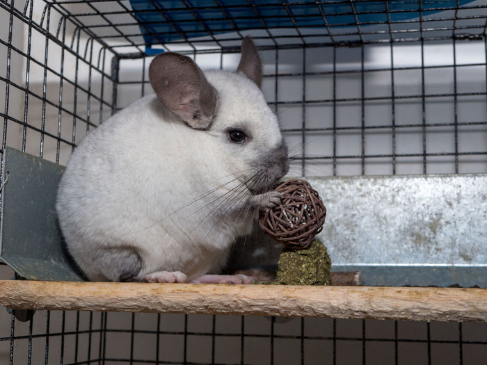 Chinchilla Wicker Ball Wicker Twig Ball Pet White Chinchilla