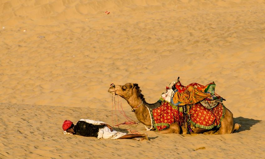 Desert Sand Sand Dune Camel Nap Nap Time Taking A Break