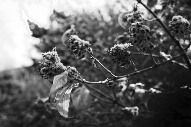 Autumn Beauty In Nature Black And White Black Autumn Series Blackandwhite Close-up Fortheloveofblackandwhite Fragility Herbst Macro Nature Nature_collection Naturelovers Outdoors Plant Schwarz & Weiß Schwarzweiß Tree