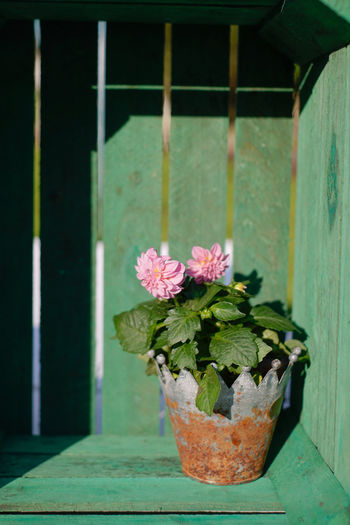 Pink dahlias in rusty pott in green wooden box Dahlia Pink Green Box Wooden Box Wood Rusty Rusty Metal Metal Pot Art Colorful Copy Space Garden Decoration Floral Frame Light And Shadow Shadows Plant Potted Plant Summer Color Concept Flower Plant Potted Plant Plant Life Pot Blooming