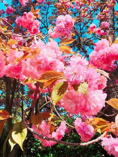 Sakura First Eyeem Photo