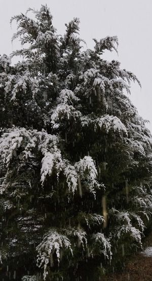 Snow White Cedar Tree Winter Cold Temperature Snow Nature Pinaceae Pine Tree No People Outdoors Day Beauty In Nature Forest Sky Fir Tree Snowing Freshness Spruce Tree Close-up Snowflake