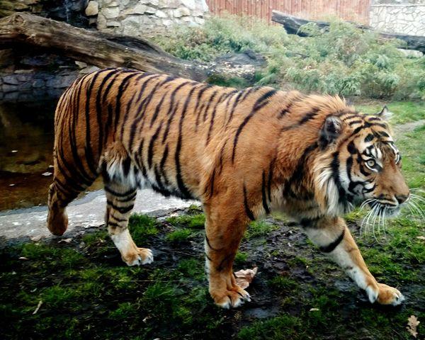 Tiger Zoo Animals  Wild Cat