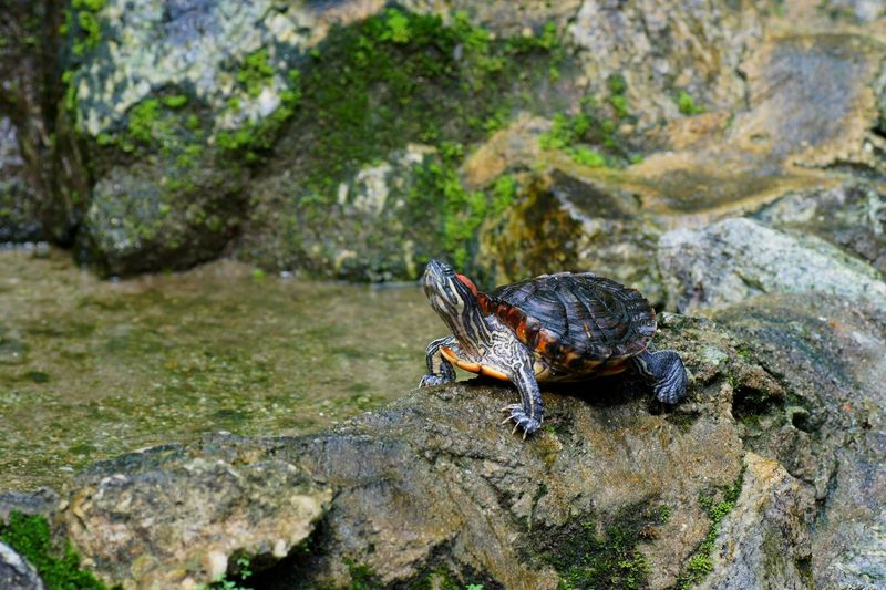 View of turtle on rock