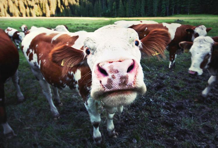 Portrait of cows on field