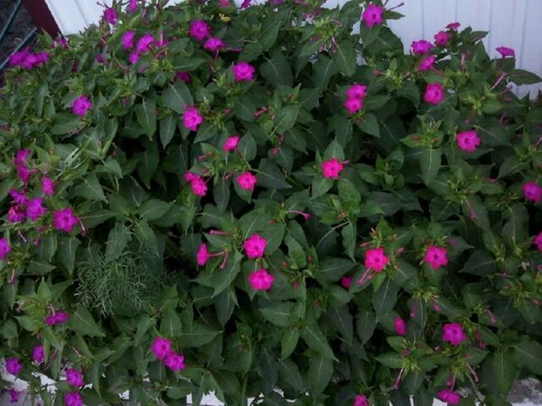 There's no any photo editing. Без фоторедактирования. Мирабилис Ночная красавица июль Mirabillisjul July Flowerets Belle De Nuit Juillet Purple Flowers