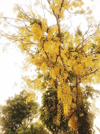 Golden Rain Tree Tree Beauty In Nature Nature Yellow Scenics Flower cassiafistula