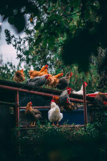 Birds in a farm