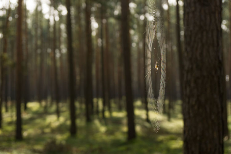 spider web Autumn Light Rays Autumn Forest Beauty In Nature Day Forest Growth Indian Summer Landscape Nature No People Outdoors Spider Waiting Spider Web Spider Web Between Trees Spiderweb Tranquility Tree Tree Trunk WoodLand