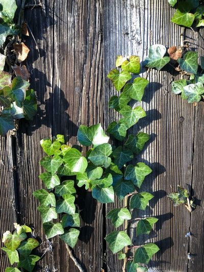 Ivy on the