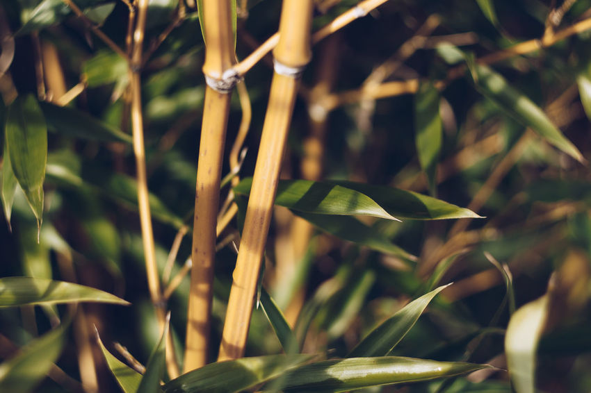 Bamboo Tree... Helios Hungary Bamboo Beauty In Nature Beauty In Nature Canon 1300d Close-up Day Eyembestshots Freshness Green Color Growth Helios 44M Helios Lens Leaf Nature No People Outdoors Plant Vintage Lens Vintage Lens On Modern Camera Vintage Lens Photography Vintage Lenses Vintage Lenses Lover