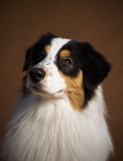 Australian Shepherd dog portrait against brown studio background One Animal Domestic Pets Dog Canine Domestic Animals Indoors  No People Studio Shot Looking Animal Looking Away Portrait Animal Head  Purebred Dog Animal Themes Australian Shepherd  Brown Background Beautiful Shepherd