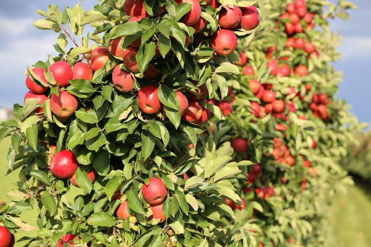 Apples ready to