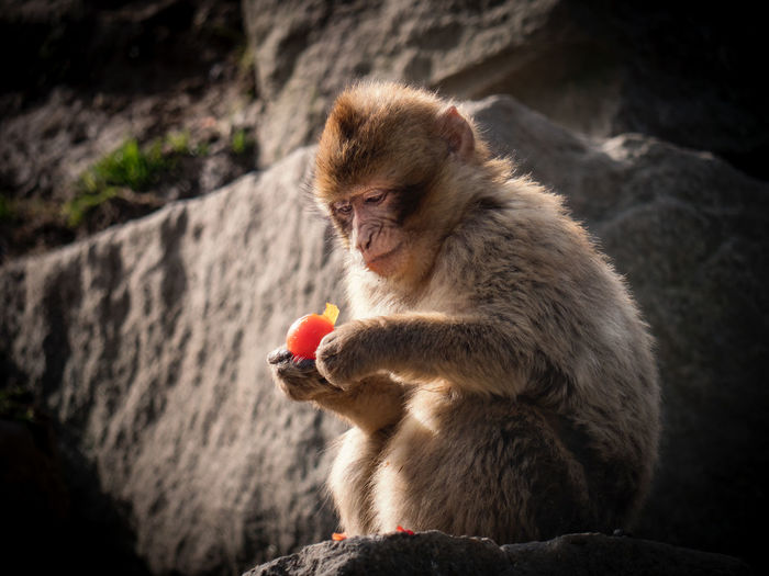 Low Angle View Of Monkey Eating Food On Rock