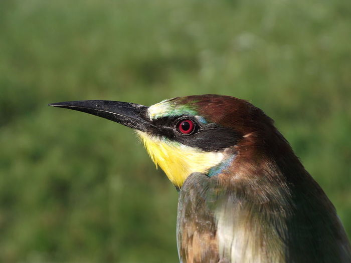 Close-up of bee-eater against grassy field