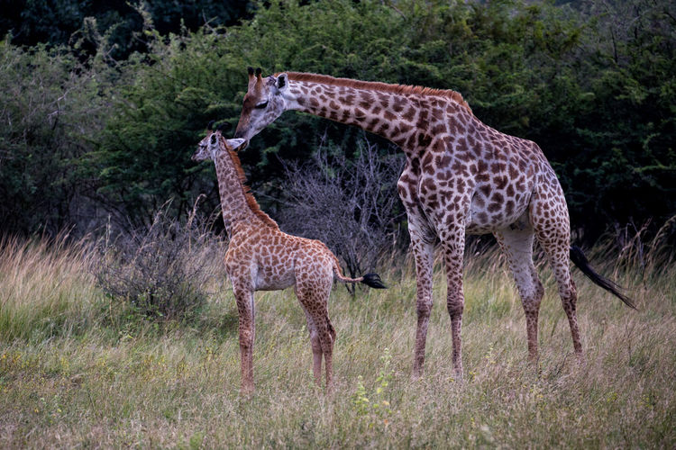 Love Beautiful Colorful Travel Photography Canon Babygiraffe Baby Animal Wildlife Animal Giraffe Animal Themes Mammal Group Of Animals Animals In The Wild Two Animals Safari No People Plant Grass Tree Nature Young Animal Togetherness