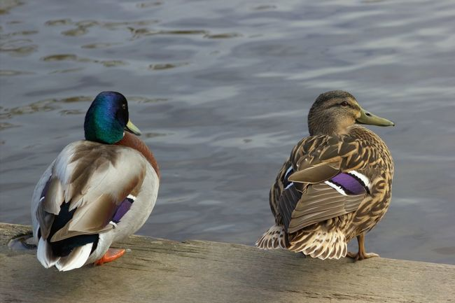 Bird Animals In The Wild Animal Themes Duck Female Animal Male Animal Mallard Duck Animal Wildlife Water Outdoors Water Bird Nature No People Day Beauty In Nature River Dee  Mallard Two Ducks Pair Two Male And Female Male And Female Ducks Togetherness