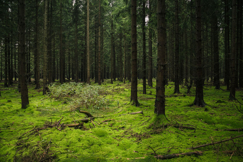 Harzer Woodland Beauty In Nature Day Forest Grass Green Color Growth Harz Harzmountains Land Lush Foliage Nature No People Non-urban Scene Ominous Outdoors Plant Scenics - Nature Tranquil Scene Tranquility Tree Tree Trunk Trunk WoodLand