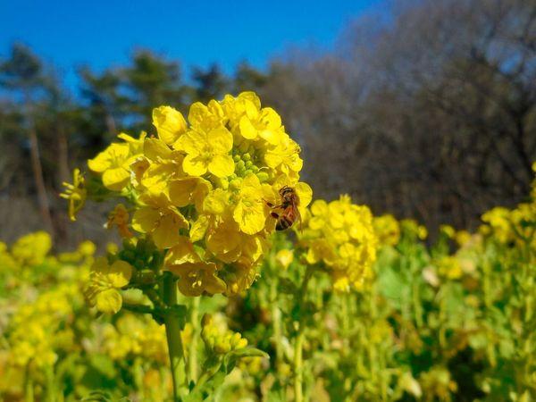 Field Mustard Hitachi Seaside Park EyeEm Flower Today Japan Yellow Flower ひたち海浜公園?菜の花畑には蜂がせっせとお仕事中でした? Bee Compact Digital Camera