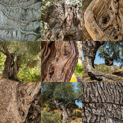 Olive trees Olive Olive Tree Bark Beauty In Nature Branch Close-up Day Dead Tree Deforestation Growth Log Nature No People Outdoors Rock - Object Textured  Tree Tree Stump Tree Trunk Wood - Material