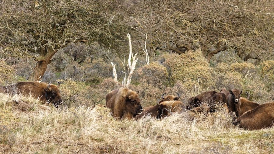 Wisent family matters Wisent Family Matters Dunes Of Holland European  Bison Land Nature Day Field Animal Sunlight Animal Themes Group Of Animals Animals In The Wild Animal Wildlife Outdoors Beauty In Nature
